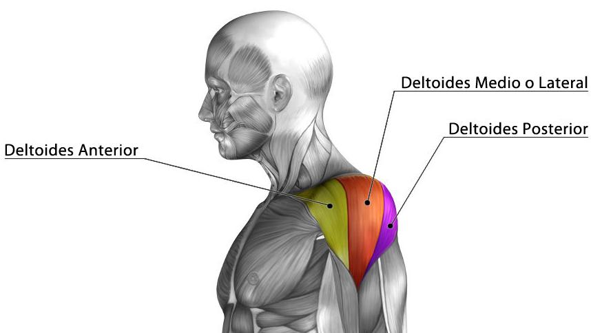 Cabezas del detoides: deltoides anterior, deltoides lateral y deltoides posterior